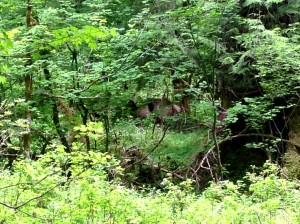 Enchanted Valley elk